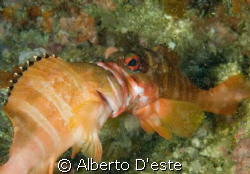 Puerto Galera, two fish fighting for the territory. by Alberto D'este 